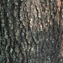 The smooth, reddish-brown bark of young black cherry trees becomes very dark and breaks into small, rough, upturned plates. Photo © Elaine Mills