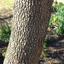Flowering dogwood bark is very scaly to extra blocky. Photo © Elaine Mills