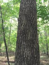 The bark of black walnut is dark and deeply furrowed. Photo © Elaine Mills