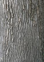 Mature green ash trees develop distinctive diamond-shaped ridging. Photo © Elaine Mills