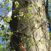 The thin, smooth, light gray bark of American beech has been likened to elephant skin. Photo © Elaine Mills