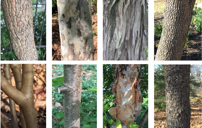 Identifying Trees By Their Bark Master Gardeners Of Northern