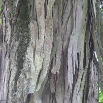 Carya ovata shaggy bark in May. Photo © 2017 Elaine L. Mills