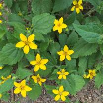 Chrysogonum virginianum (Green-and-Gold) flowers in May. Photo © Elaine Mills