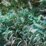 Elymus hystrix (Bottlebrush Grass) en masse in August. Photo © Elaine Mills