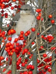 Ilex_verticillata_'Red_Sprite'_fruit_Bird_Mockingbird_Jan_JF