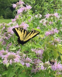 Monarda_fistulosa_Flowers-4_Swallowtail_Butterfly_and_Bee_Jul_ELM