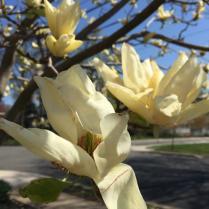 Magnolia 'Elizabeth' flower details.