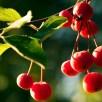 Invasive Malus hupehensis (Chinese crabapple) fruit.