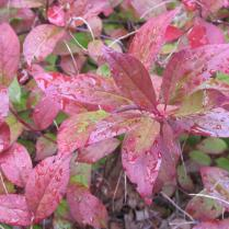 Sweetspire's brilliant fall foliage rivals that of burning bush.