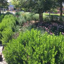 Inkberry combines beautifully with native grasses, perennials, and trees.