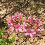 Pinxterbloom azaleas attract numerous pollinators.