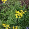 Native golden ragwort and maidenhair fern in woodland garden
