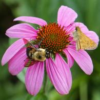 Bombus bimaculatus (two-spotted bumble bee) and Atalopedes campestris (sachem skipper) on Echinacea purpurea (purple coneflower) in July. Photo © Mary Free