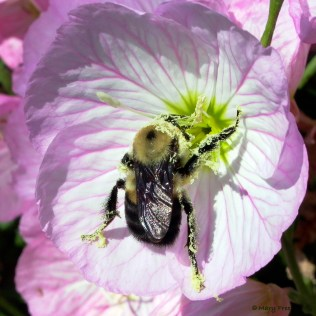 The anthers of Oenothera speciosa (pink evening-primrose) dehisce longitudinally presenting pollen grains, which are held in a mass by minute, sticky threads. The hair of the brown-belted bumble bee attracts the pollen grains electrostatically. Photo © Mary Free