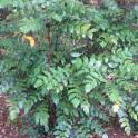 Leatherleaf Mahonia (Mahonia bealei) foliage in October.Photo © Elaine Mills
