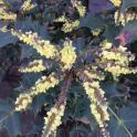 Leatherleaf Mahonia (Mahonia bealei) flowers in March. Photo © Elaine Mills