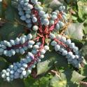 Leatherleaf Mahonia (Mahonia bealei) berries in May. Photo © Elaine Mills