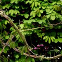 Invasive: Five-Leaved Akebia/Chocolate Vine (Akebia quinata) twining vines in March.Photo © Mary Free