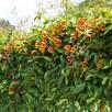 Bignonia capreolata (Cross-vine) at the Glencarlyn Library in late April. Photo © Mary Free
