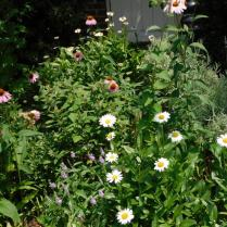 Echinacea, Shasta Daisies, Stokes Asters, Lavender, Veronica