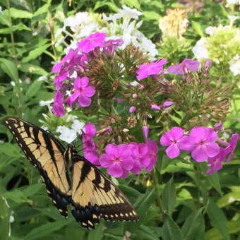 Eastern tiger swallowtail butterfly on Phlox paniculata (Garden Phlox) in August.Photo © Elaine Mills