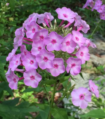 Phlox paniculata (Garden Phlox) flowers in July.Photo © Elaine Mills