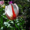 Red-flamed white tulip