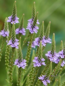 Panicles of spikes of Verbena hastata (blue vervain) in July.Photo © Mary Free
