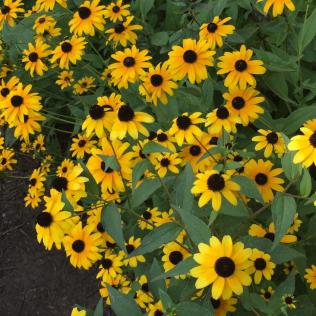 Brown-eyed Susans (Rudbeckia triloba) scattered throughout the garden