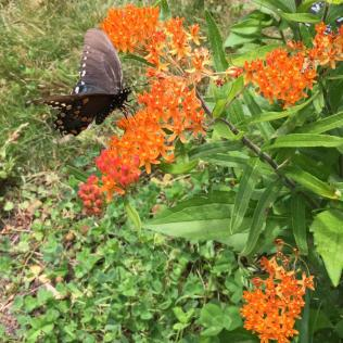 Butterfly-weed (Asclepias tuberosa) attracts both monarch and swallowtail butterflies.
