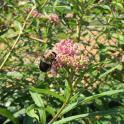 A carpenter bee visiting Asclepias incarnata (swamp milkweed) in the children's garden.