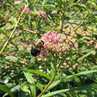 A carpenter bee visiting swamp milkweed (Asclepias incarnata) in the children's garden