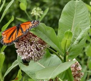 Danaus_plexippus_monarch_butterfly_male_and_bumble_bee_on_Asclepias_syriaca_ Jun_MMF