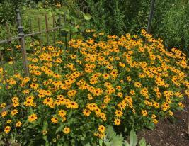 Rudbeckia fulgida var. sullivantii 'Goldsturm' (Orange Coneflower) en masse at the Glencarlyn Library Community Garden in July.Photo © Elaine Mills