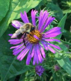 Symphyotrichum novae-angliae (New England Aster) with a bumble bee in September. Photo © Elaine Mills