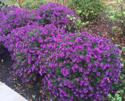 Symphyotrichum novae-angliae 'Purple Dome' in the MGNV Tribute Bench Garden in September.Photo © Elaine Mills