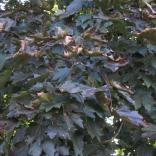 Norway Maple (Acer platanoides) September leaves. Photo © Elaine Mills