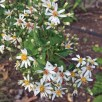 Eurybia divaricata (White Wood Aster) buds and flowers in August. Photo © Elaine Mills