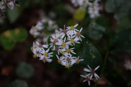 Eurybia divaricata (White Wood Aster flowers in September. Photo © Bob Klein