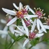 Eurybia divaricata (White Wood Aster) flowers in October. Photo © Mary Free