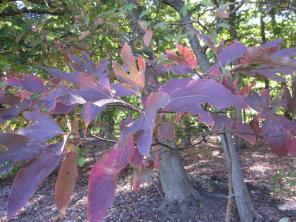 Sassafras albidum (Sassafras) in October at the National Arboretum. Photo © Elaine Mills
