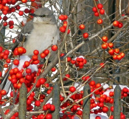 A northern mockingbird sitting amid the drupes of Ilex verticillata 'Red Sprite' (winterberry) in January. Photo © Judy Funderburk