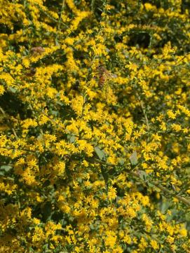 Solidago rugosa 'Fireworks' (Rough-stemmed Goldenrod) flowers with honey bees in September. Photo © Elaine Mills