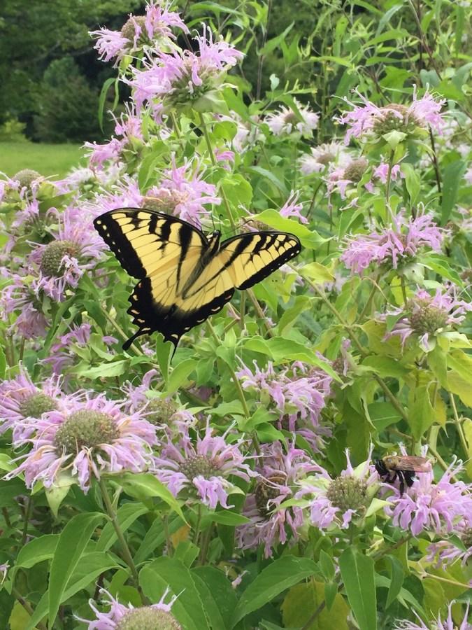 Swallowtail butterfly on wild bergamot.