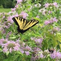 Swallowtail on Wild Bergamot (Monarda fistulosa)