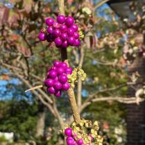 American Beauty-berry (Callicarpa americana)