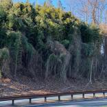 Bamboo along roadside in December. Photo © Elaine Mills
