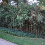 Bamboo in landscape in September. Photo © Elaine Mills