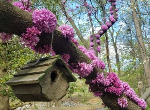 In April, copious flower clusters hug the trunk and branches of Cercis canadensis (Eastern Redbud) in April. Photo © Leslie Fillmore